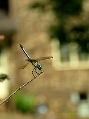 Blue Dasher -