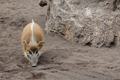 Rotes Flussschwein im Bioparc Valencia (© Buelipix)