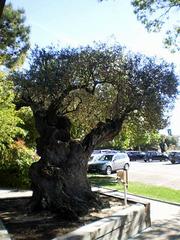 Olive-tree (300 B.C.).