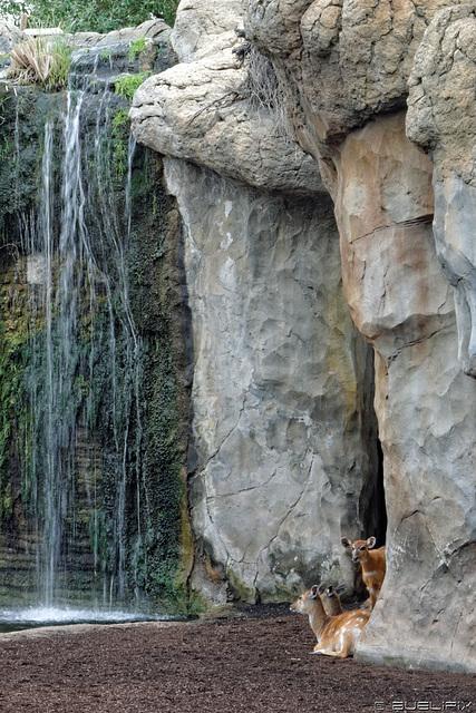 Sitatunga im Bioparc Valencia (© Buelipix)