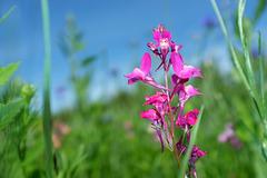 Fleur de linaire - Parterre fleuri du château de Canon