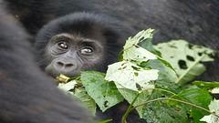 Gorilla-Baby