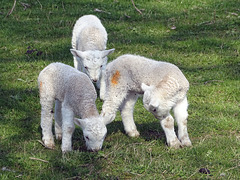 Three little lambs
