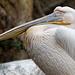 Pelikan im Bioparc Valencia (© Buelipix)