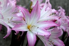 Belladonna (Amaryllis belladonna)