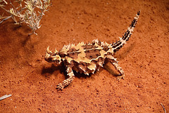 In the wild...a thorny devil
