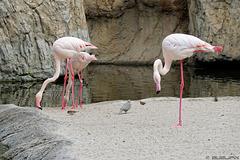 Flamingos im Bioparc Valencia (© Buelipix)