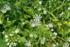 Hain-Sternmiere - (Stellaria nemorum)