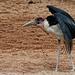 Marabu im Bioparc Valencia (© Buelipix)
