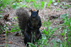 Canada 2016 – Toronto – Mt Pleasant Cemetery – Black squirrel