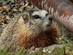 Yellow-bellied Marmot - from the archives