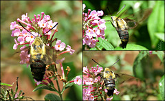 Clearwing Moth ..