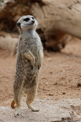 Erdmännchen im Bioparc Valencia (© Buelipix)