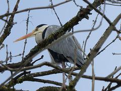 Héron cendré  (Ardea cinerea)   (Grey Heron)