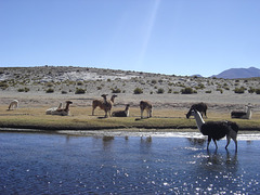 Des lamas en Bolivie
