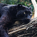 Panther im Bioparc Valencia (© Buelipix)
