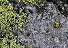 lichen versus roche