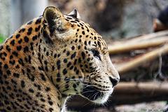 Leopard im Bioparc Valencia (© Buelipix)