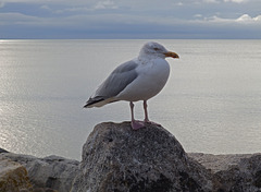 Sid the seagull at Sidmouth.