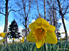 Down Low With Daffodils.