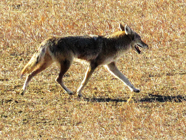 Plains Coyote (Canis latrans latrans) - Cathy Fromme Prairie  Natural Area; City of Fort Collins Natural Areas