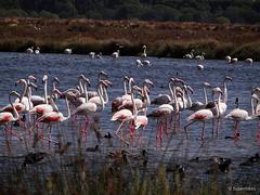 semi-pink flamingos