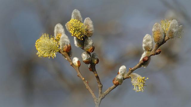 Saule de printemps
