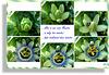 Passionsblume (Passiflora caerulea). ©UdoSm