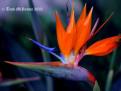 Strelitzia reginae AKA Bird of Paradise  1483