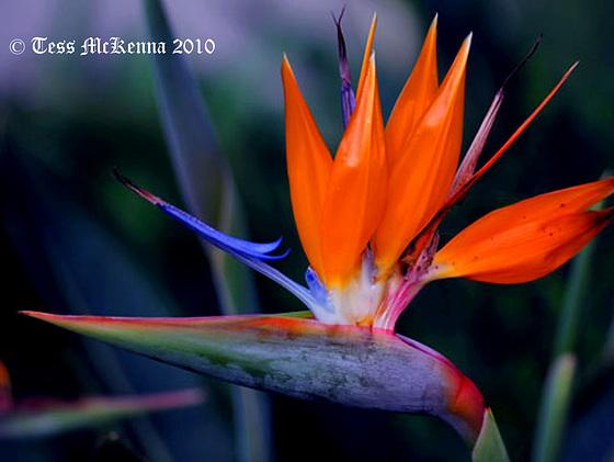 Strelitzia reginae AKA Bird of Paradise  1483