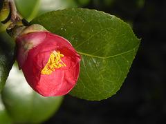 una camellia di gennaio
