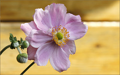 Anemone nipone....