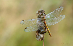 Still asleep... Vagrant darter ~ Steenrode heidelibel (Sympetrum vulgatum)...