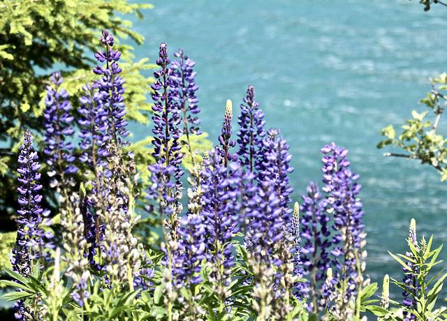 Natur am  See (Lupinen)