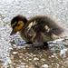 Duckling.2jpg