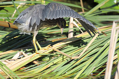 jeune héron vert / young green heron