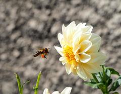 abeille et dalhia