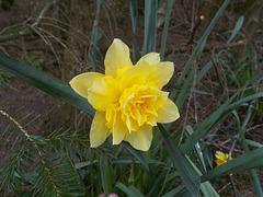 SoS - triple daffodil