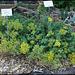 Alyssum montanum (2)