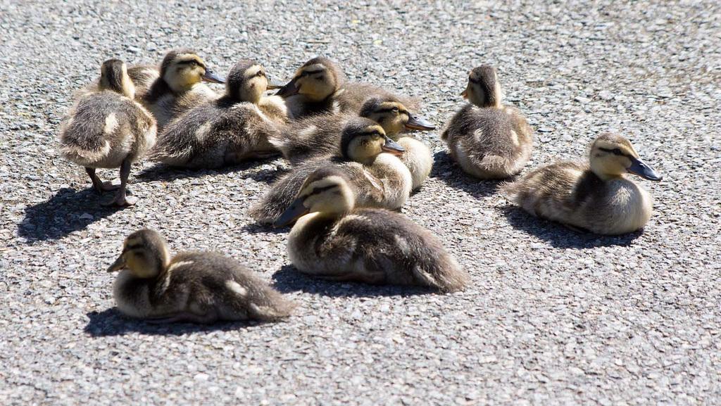 Ducklings (1)