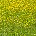 Field of Buttercups  (2)