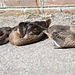 Ducklings sunbathing