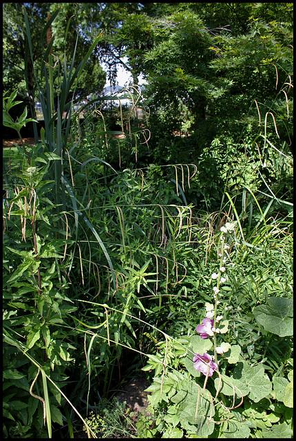 Carex pendula (4)