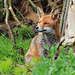 Quick Foxie, look sly for the camera