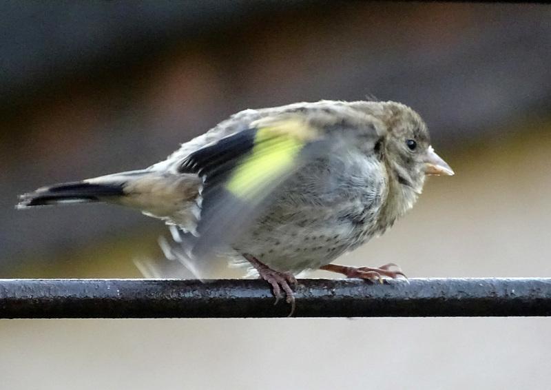 Juvenile  godfinch agitation