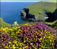 Porthcadjack, Cornwall north coast, heather and gorse
