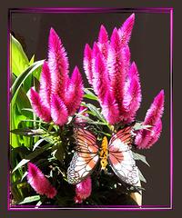 Silber-Brandschöpf Celosia argentea. ©UdoSm