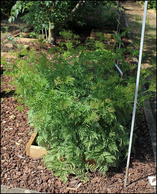 Chaerophyllum temulum (2)