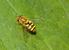 Hoverfly IMG_1449