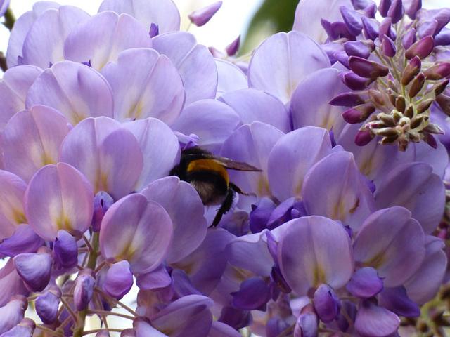 Flores de la pluma y moscardón
